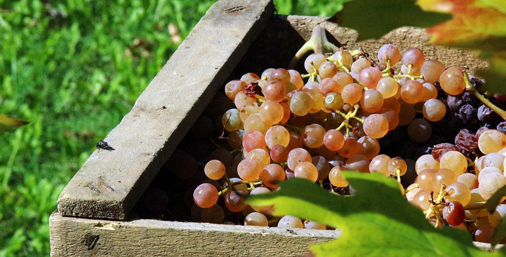 Holzkiste mit Weintrauben